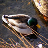 Play Jigsaw: Shallow Duck
